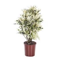 Croton Wonderstruik Iceton medium