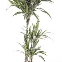 Dracaena White Stripe medium