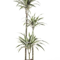 Dracaena White Stripe Large