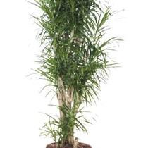Dracaena Small Leaves XL