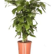 Caryota 'Visstaartpalm' medium