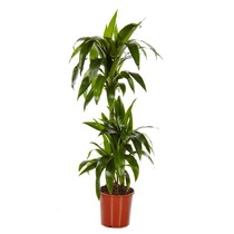 Dracaena 'Two Tribes' large