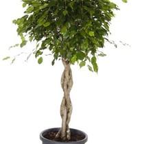 Ficus Benjamina gevlochten large