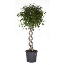 Ficus Benjamina Dubbel Spiraal large