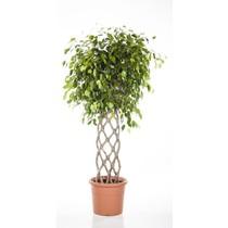 Ficus Benjamina gevlochten mat XL