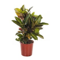 Croton Wonderstruik 'Nerves' large