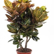 Croton Wonderstruik 'Nerves' XL
