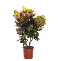 Croton Wonderstruik 'Nerves' XL