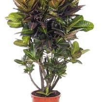 Croton Wonderstruik 'Nerves' XXL