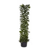 Hoya Wasbloem Large