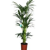 Kentiapalm Large