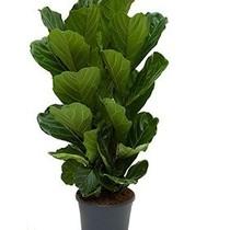 Ficus Vioolbladplant large