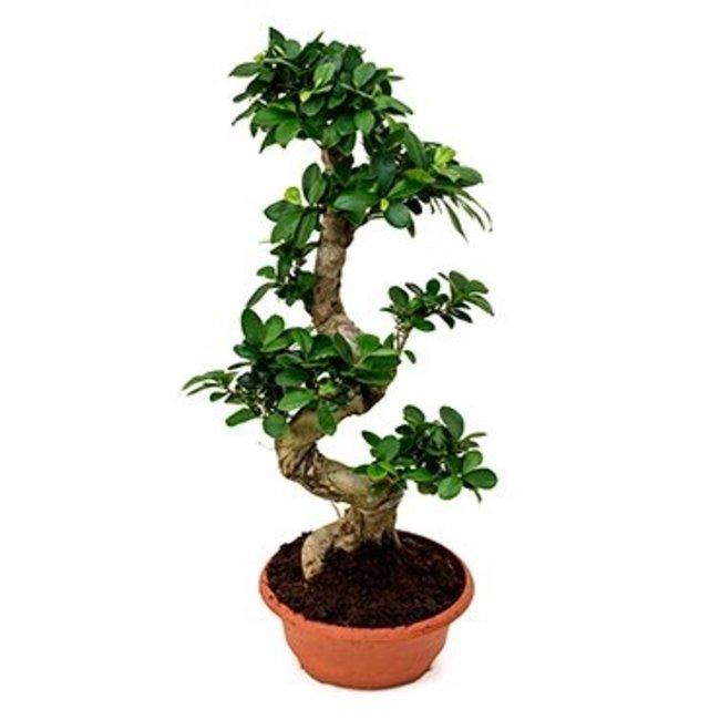 Ficus Microcarpa Ginseng Kopen Fleurdirect