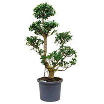 Ficus Bonsai Special shape XL
