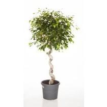 Ficus Benjamina spiraal medium