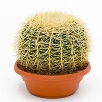 Echinocactus in schaal large