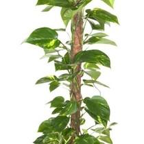 Epipremnum Scindapsus small