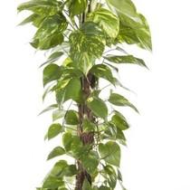 Epipremnum Scindapsus medium