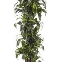 Dracaena Dorado large