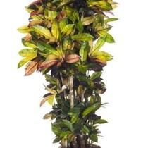 Croton Wonderstruik Iceton XXL