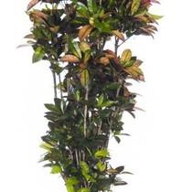 Croton Wonderstruik Iceton XXXL