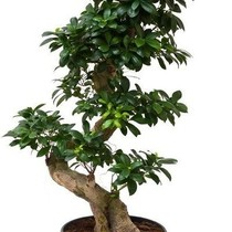 Ficus Bonsai Medium