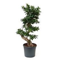 Ficus Bonsai Medium