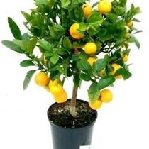 Appelsienboom