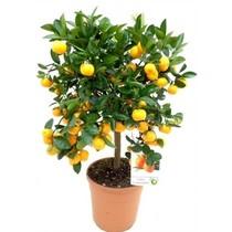 Appelsienboom Medium kopen