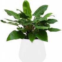 Elho Philodendron Imperial Green in Elho pot