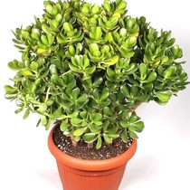 Crassula Ovata Bush XL