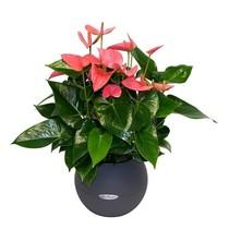 Lechuza Anthurium roze in zelfwatergevende pot