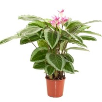 Calathea Bicajoux