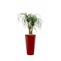 Beaucarnea in rode zelfwatergevende pot