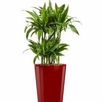 Dracaena in rode zelfwatergevende pot
