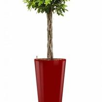 Ficus Nitida in rode zelfwatergevende pot