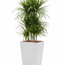 Dracaena marginata in witte zelfwatergevende pot