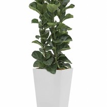 Ficus in witte zelfwatergevende pot