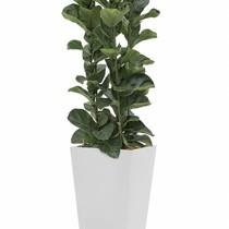 Ficus Lyrata in witte zelfwatergevende pot