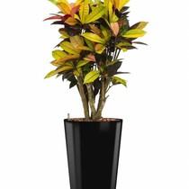 Croton in zwarte zelfwatergevende pot