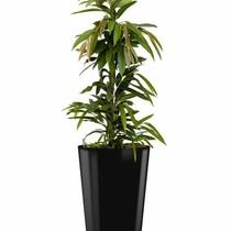 Ficus Amstelking in zwarte zelfwatergevende pot
