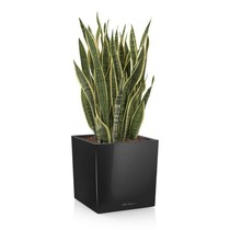 Lechuza Sansevieria in zelfwatergevende cube
