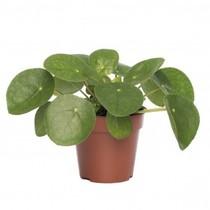Pilea pannenkoekenplant