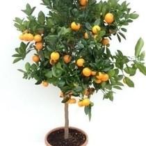Appelsienboom XL