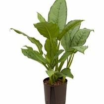 Hydroplant Aglaonema freedman