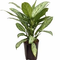 Hydroplant Aglaonema silver king