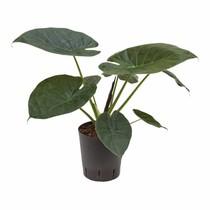 Hydroplant Alocasia wentii