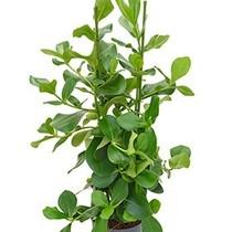 Hydroplant Clusia rosea