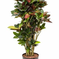 Hydroplant Croton (codiaeum) iceton