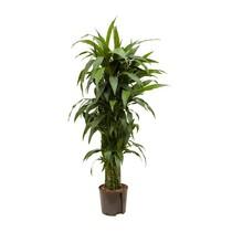 Hydroplant Dracaena janet craig